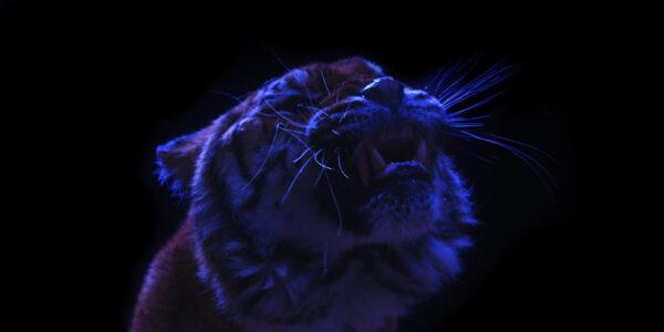 Tiger am Knurren und gefilmt werden